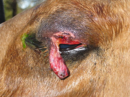 equine eye injury lower lid laceration